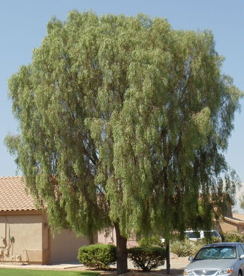 Arizona Trees / BUSH- Garden