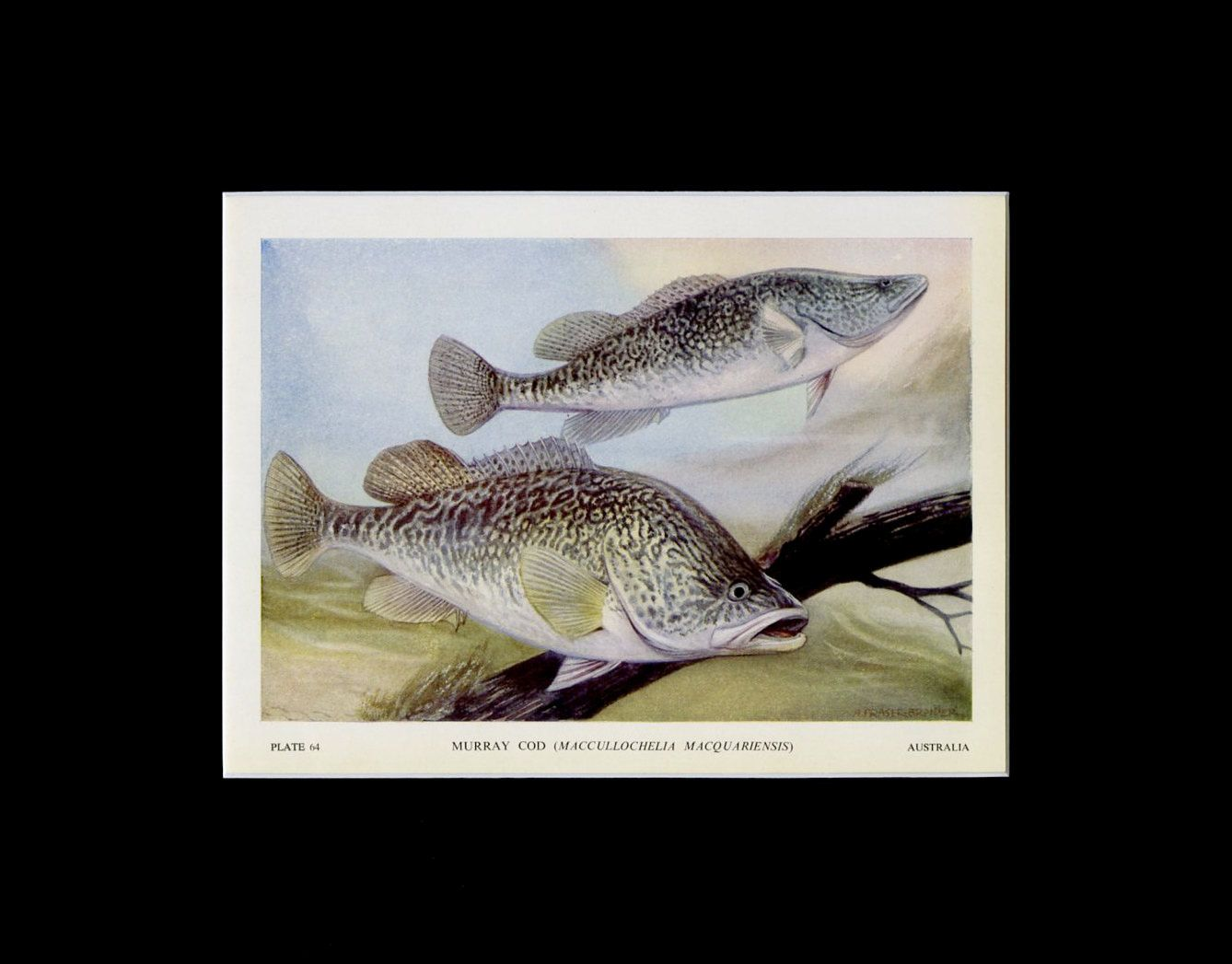 Matted 1949 vintage fish print murray cod book plate lake house decor fish