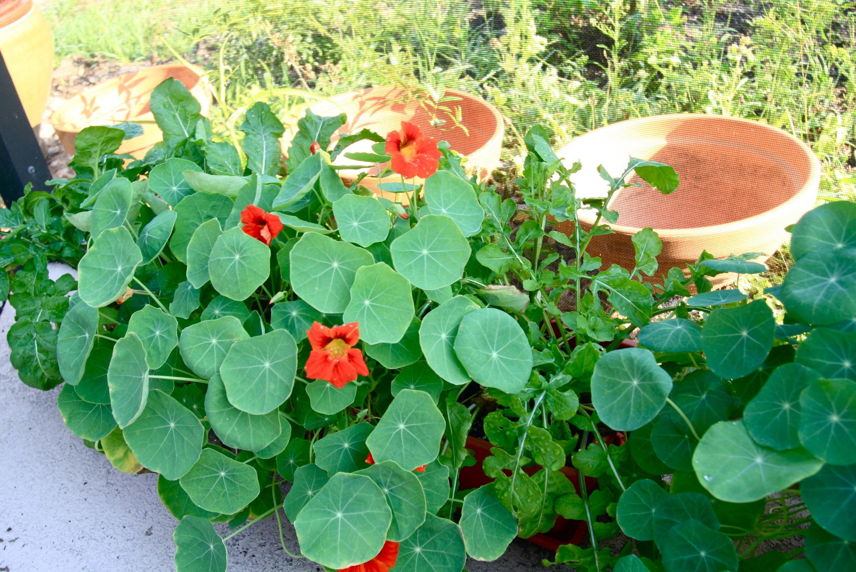 Buy culinary herbs plants nasturtium plants - Tasty Nasturtium Edible Leaves Flowers Rocket Arugula Florida Permaculture Garden