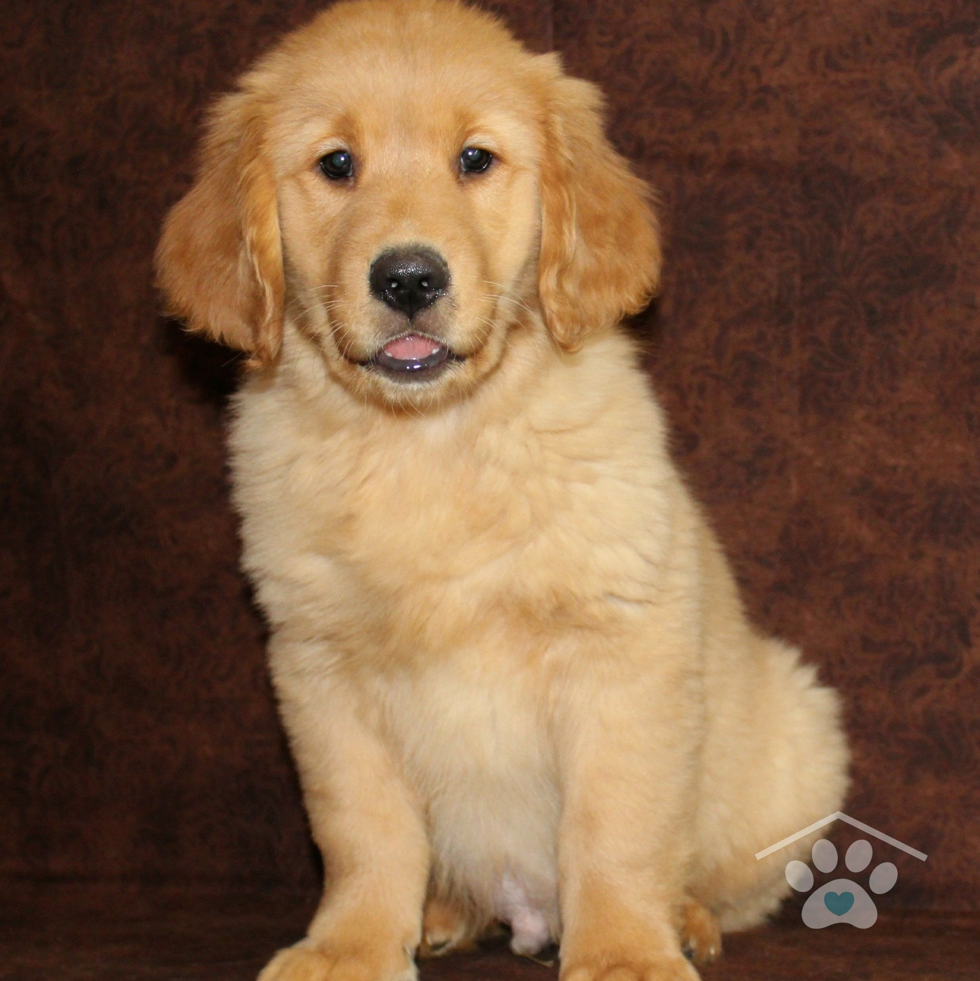 Hi My Name Is Rusty I Am A Loyal Male Golden Retriever My Plan