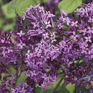 Backyard Bloomerang Dark Purple Syringa Lilac Bushes Syringa Lilac Tree
