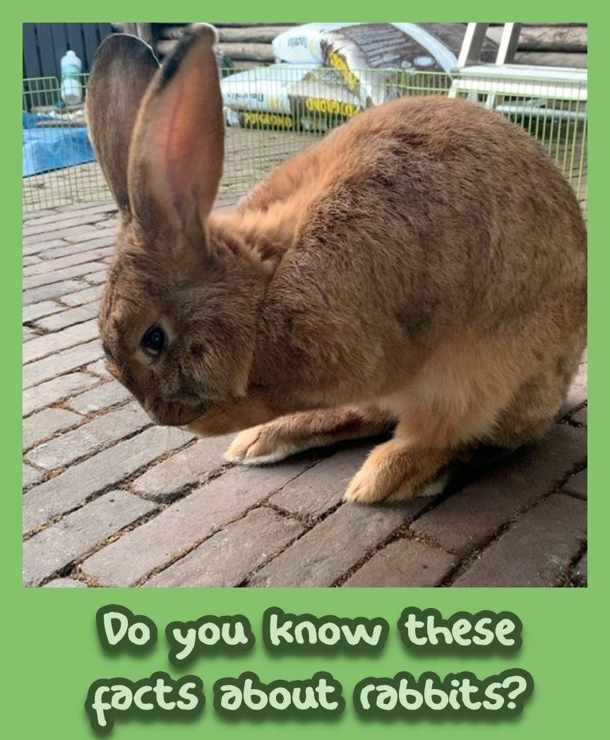 Do You Know These Facts About Rabbits In 2020 Pet Bunny Animals Friends Pets