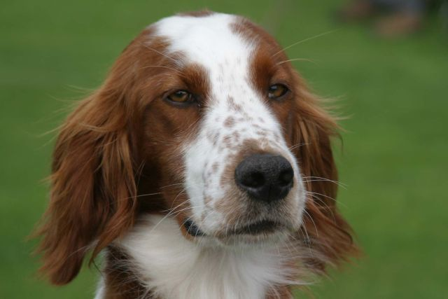 Irish Red And White Setter Red And White Setter Red And White Dog Breeds
