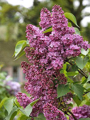 Lilac Fragrant Flowers Lilac Bushes Plants