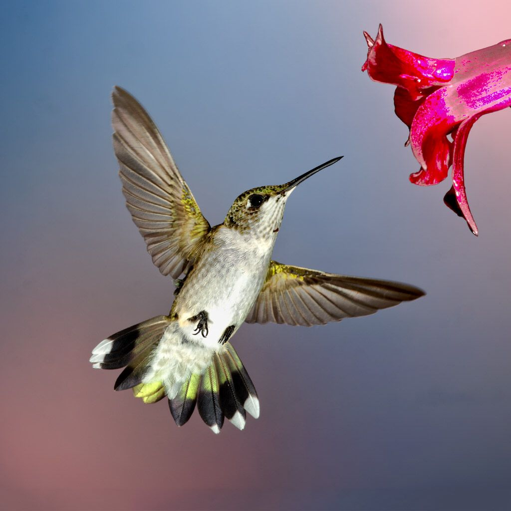 Love hummingbirds too