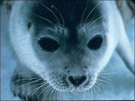 Pusa hispida, Photographer:  National Marine Mammal Laboratory, Alaska Fisheries Science Center, NOAA Fisheries Service, http://eol.org/data_objects/964158