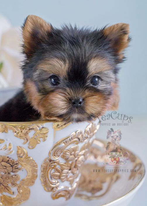 Yorkie Puppy For Sale 223 Yorkie Puppy Yorkie Puppy For Sale