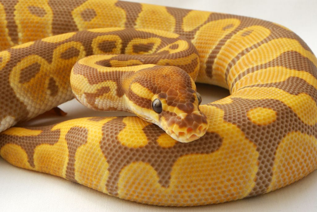 ultramel ball python Google Search (With images) Pet