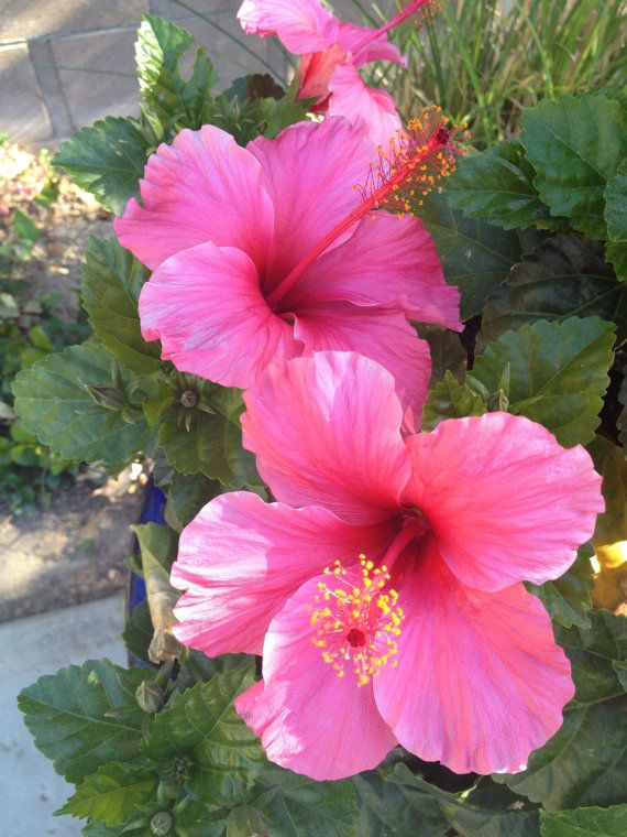 Pink Hibiscus Flower Nature Photography By Uniquephillygifts4u 15 00 Hibiscus Plant Hibiscus Flowers Flowers Photography