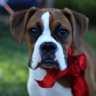 Boxers first Christmas Merry Christmas Card Puppy Holiday