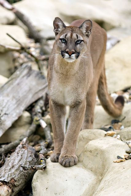 Puma, Cougar, Mountain Lion - whatever you call them in your town they sure are beautiful.