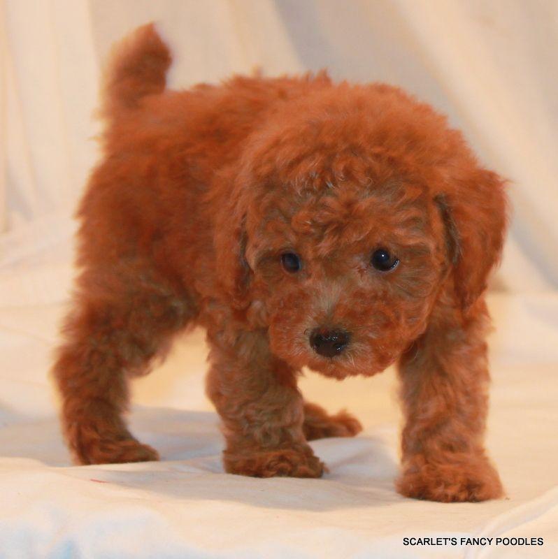 Sheba S Female Chip 3356 Red Teddy Bear Poodle Scarlet S Fancy