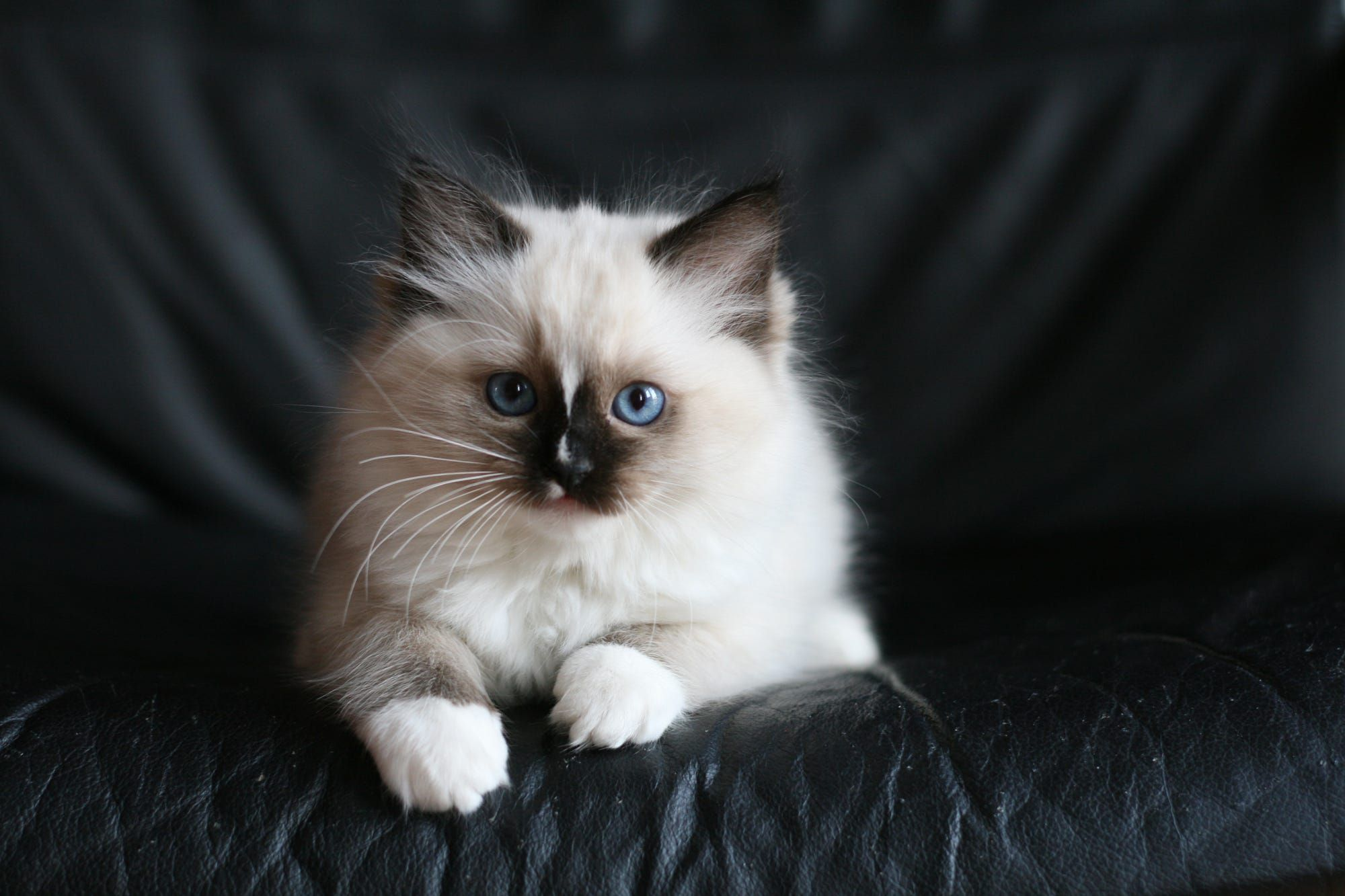 Ragdoll Kitten Seal Mitted With Blaze Cute Baby Cats Ragdoll Cat Baby Cats