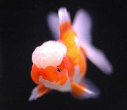 Red White Oranda Oranda Goldfish Pet Fish Fish