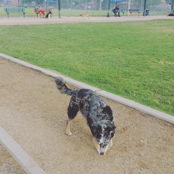 Sniffing around Foothills Dog Park - Glendale, AZ - Angus Off-Leash #dogs #puppies #cutedogs #dogparks #glendale #arizona #angusoffleash
