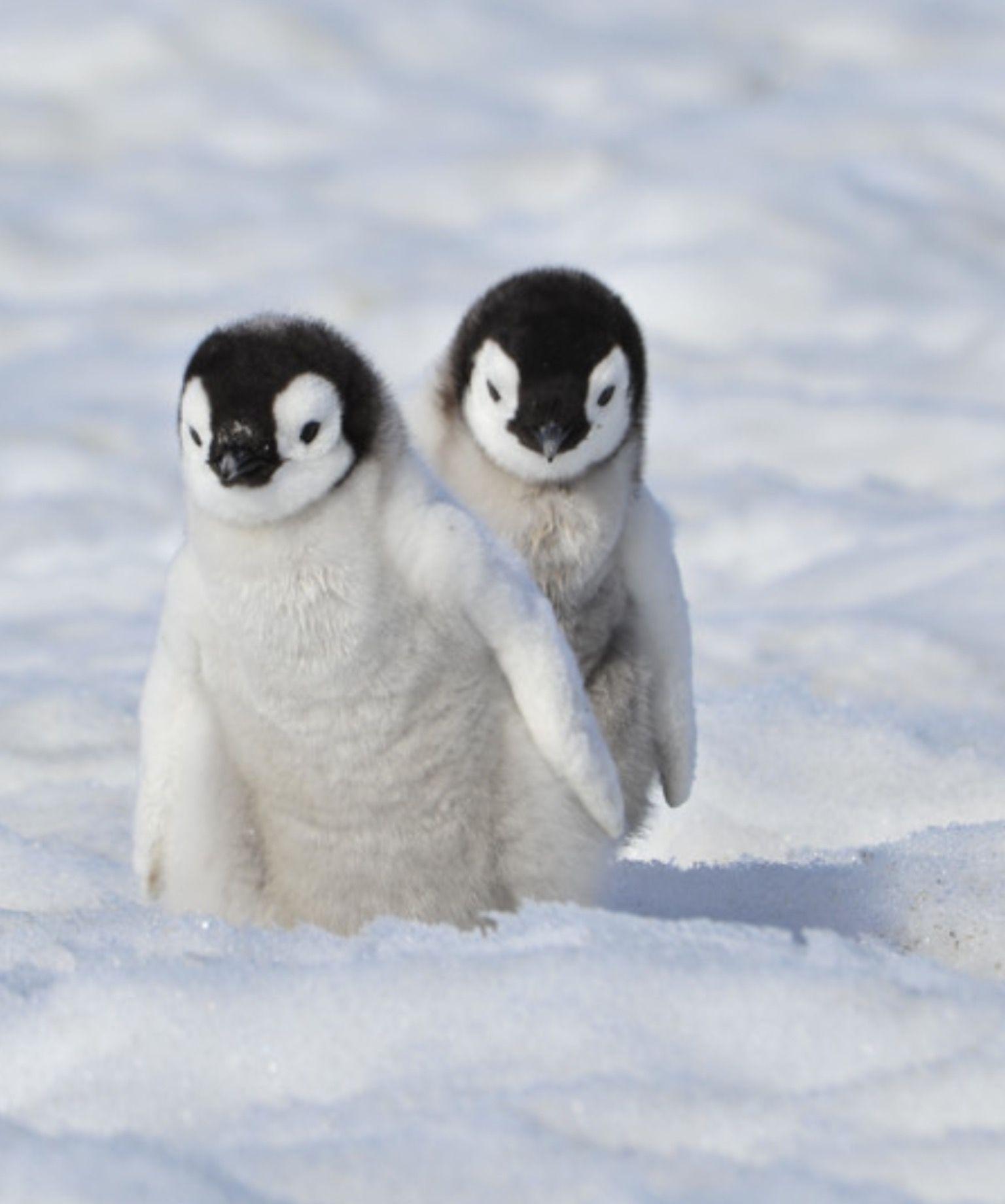 Omg so cute Cute animals, Cute baby animals, Baby penguins