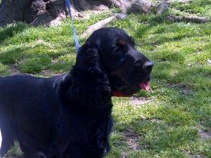 Adopt Max Sc On Cute Dogs Cocker Spaniel Dog English Cocker