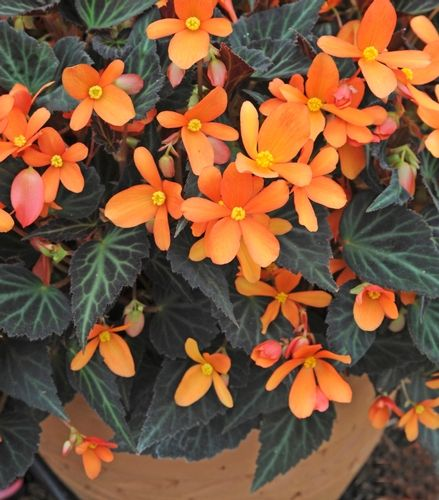 NEW 2013: Begonia 'Sparks Will Fly' Begonia hybrida From Burpee Home Gardens  'Sparks Will Fly' Begonia has dazzling tangerine flowers that shoot forth from bronze foliage. Great choice for brightening up shady garden areas, and ideal in intimate patio containers. 'Sparks Will Fly' is maintenance-free for easy gardening and decorating. Plant blooms until frost; flowers flush yellow in Fall.