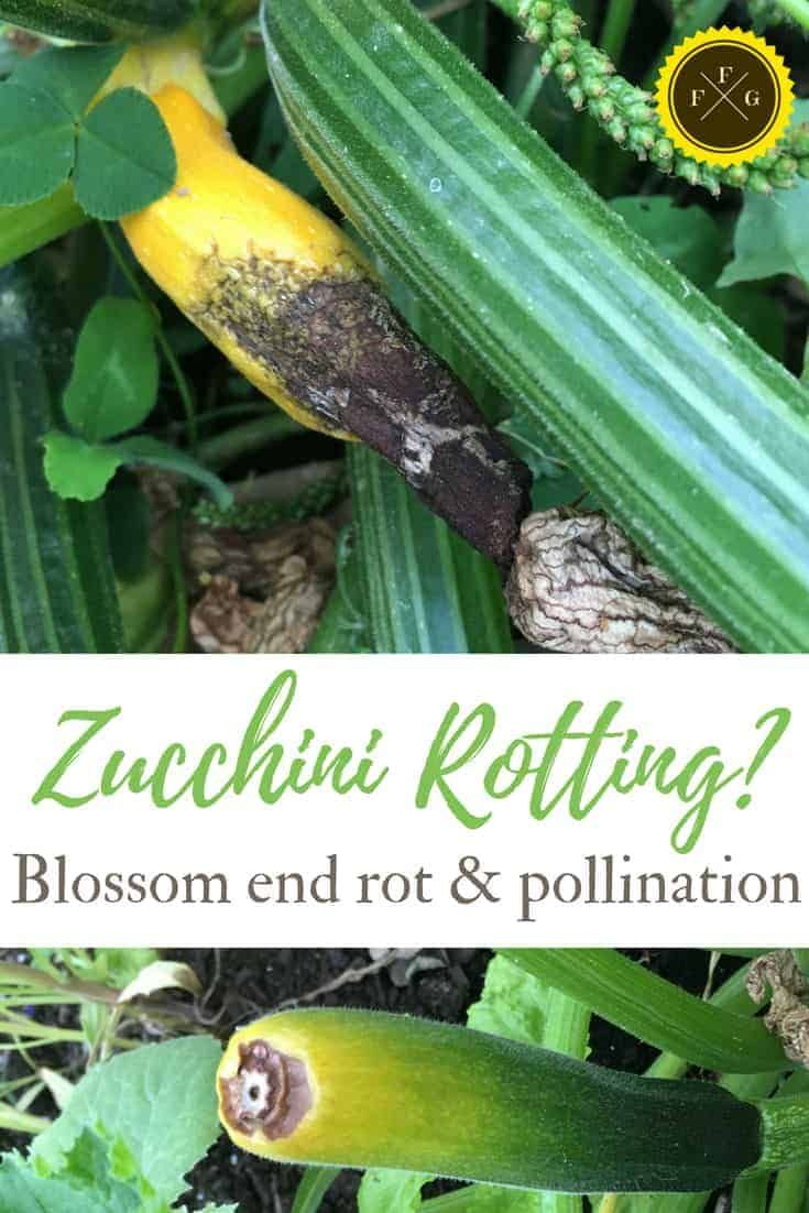 Zucchini End Rot Blossom End Rot and Pollination is part of Zucchini plants, Growing zucchini, Vegetable garden raised beds, Zucchini flowers, Zucchini blossoms, Food garden - Zucchini end rot is caused from a lack of consistent watering, low calcium levels and inadeqate squash pollination  Squash blossom end rot