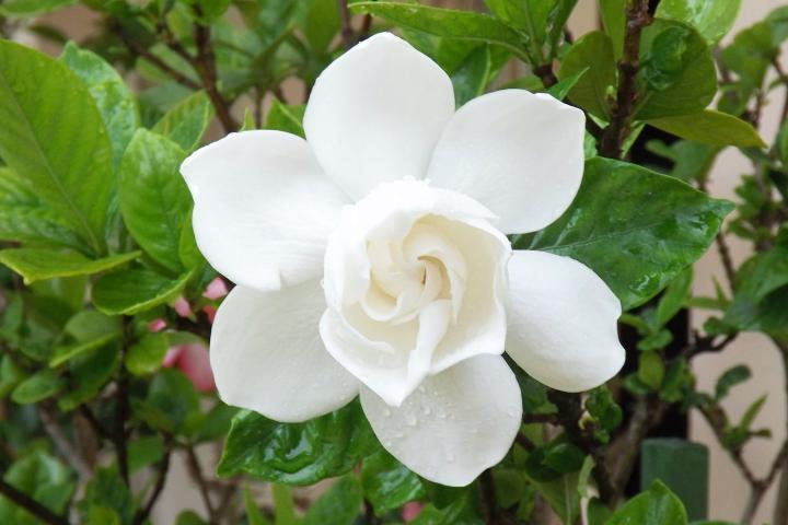 Gardenias In 2020 Types Of White Flowers Beautiful Flowers Flowers
