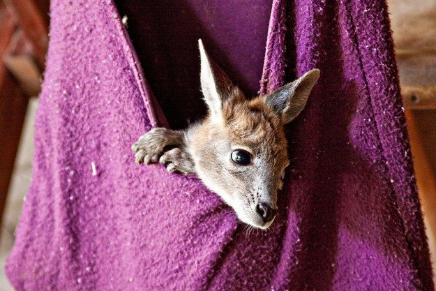 "When catastrophic bushfires hit South Australia and the ""Pouch Project"" was launched to make pouches for injured kangaroos, possums and wallabies. 