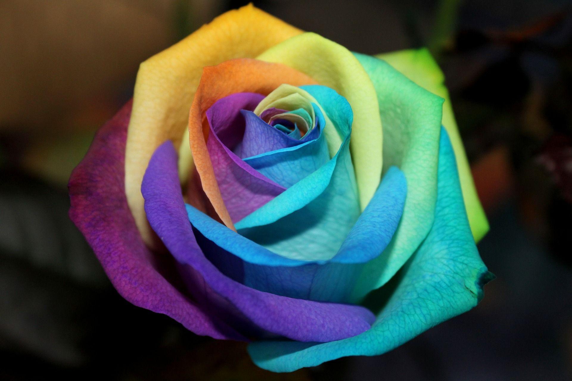Rainbow rose desktop background 1920 1280 for 2 color roses