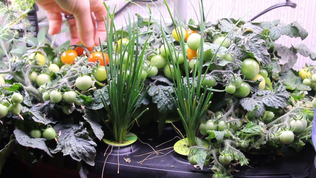 3 20 Aerogarden Update Murdering Lettuce Harvesting My 400 x 300