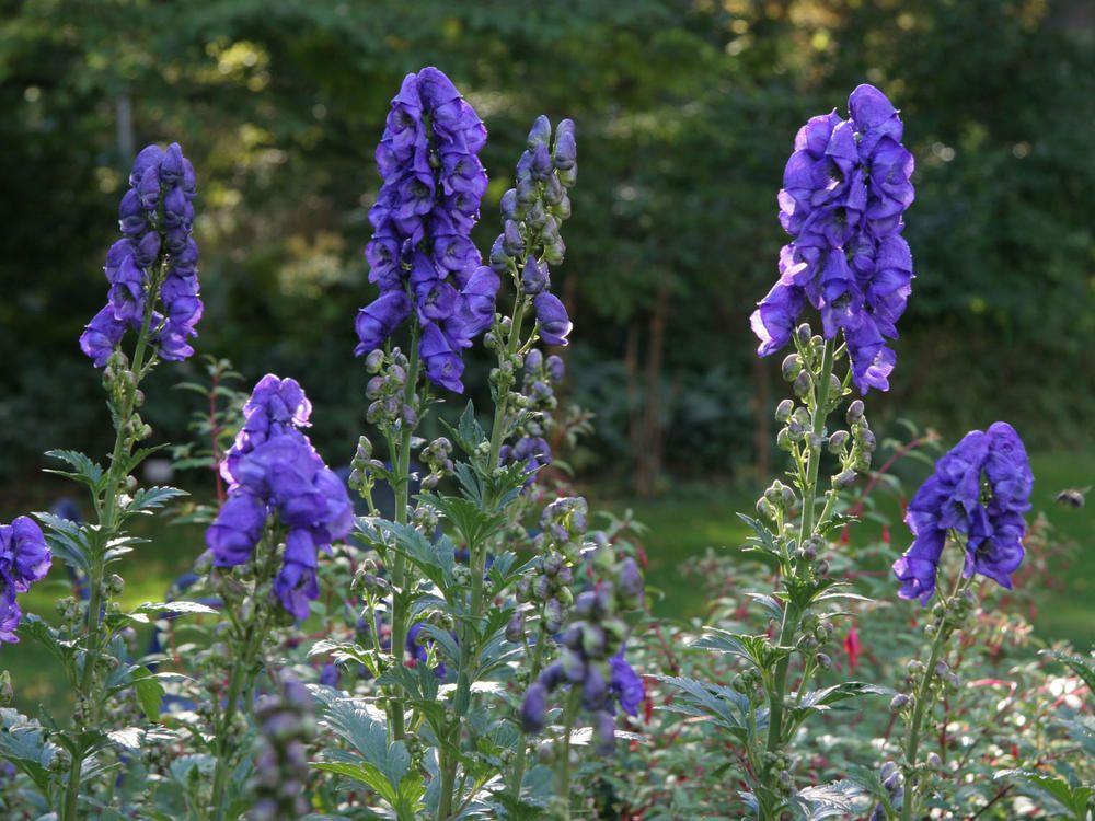 Schattenpflanzen Mit Bluten Und Blattschmuck Giftpflanzen Schattenpflanzen Giftige Pflanzen