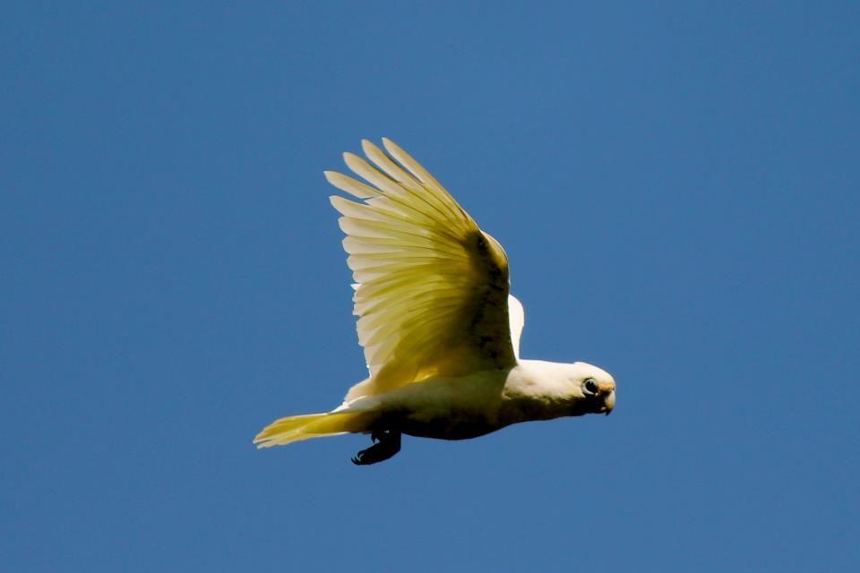 CORELLA  MORUYA NSW AUSTRALIA  BY Peter Styring....Australian Parrots and Birds