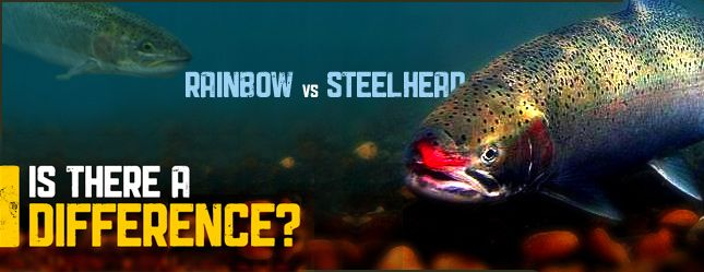 genome in rainbow trout and steelhead Descriptions a steelhead trout the steelhead, also called steelhead trout, is a species named oncorhynchus mykissa coastal rainbow trout in the anadromous form, the steelhead lives in the ocean for around 2 to 3 years before returning to freshwater to spawn.