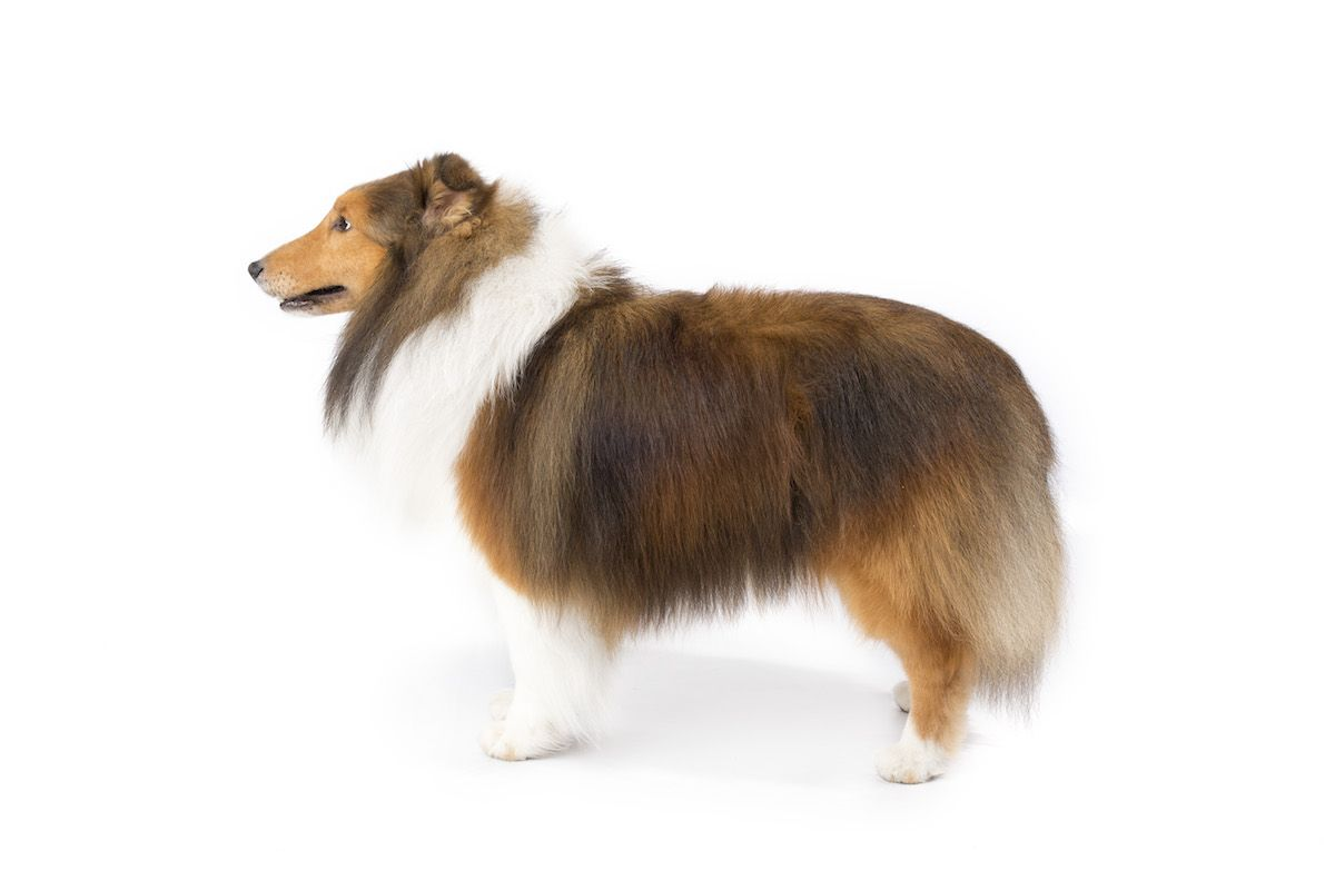 Shetland Sheepdog Dog Breed Information Shetland Sheepdog