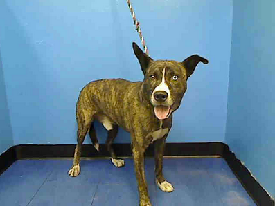 RTO - SAFE 11/5/13  Manhattan Center   APOLLO a/k/a MOZILLI - A0983895   NEUTERED MALE, GRAY / BLACK, SIBERIAN HUSKY MIX, 1 yr  STRAY - STRAY WAIT, HOLD FOR ID  Reason STRAY  Intake Date 11/02/2013, From NY 10452, DueOut Date 11/05/2013, I came in with Group/Litter #K13-158909 https://www.facebook.com/photo.php?fbid=701411316538417&set=pb.152876678058553.-2207520000.1383671674.&type=3&theater#!/photo.php?fbid=701190066560542&set=a.697490176930531.1073742548.152876678058553&type=3&theater