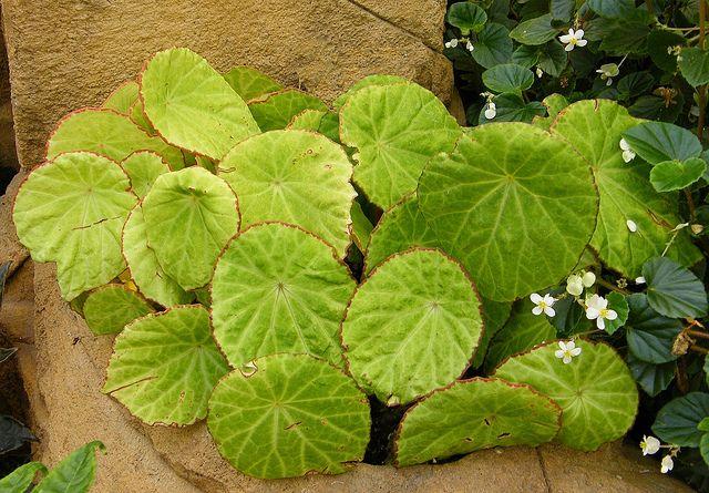 Begonia Scapigera Jardin Botanique Montreal Begonia Et Jardins