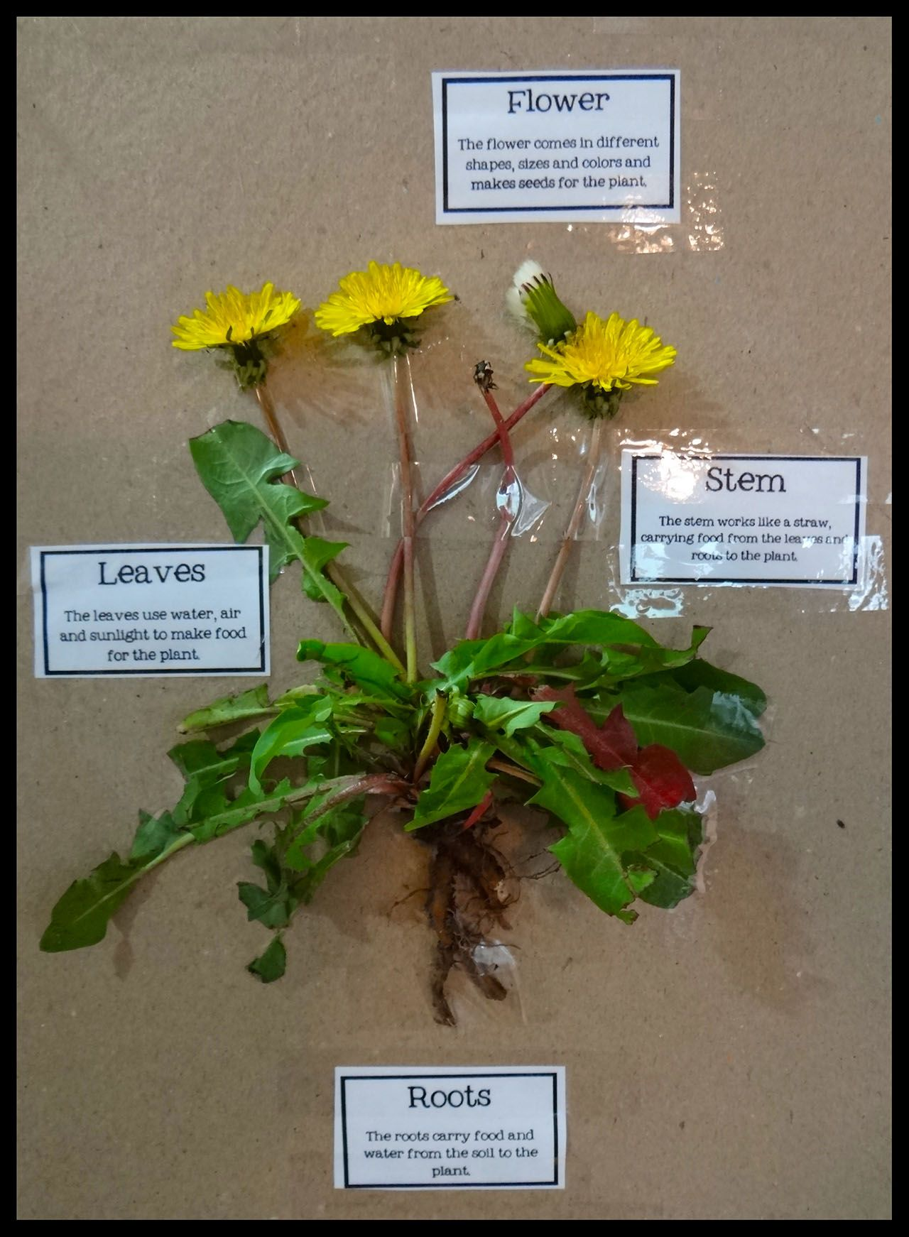 Science Labeling The Parts Of A Dandelion The Kids Loved How Hands On This Was Plant Roots Plant Leaves Dandelion