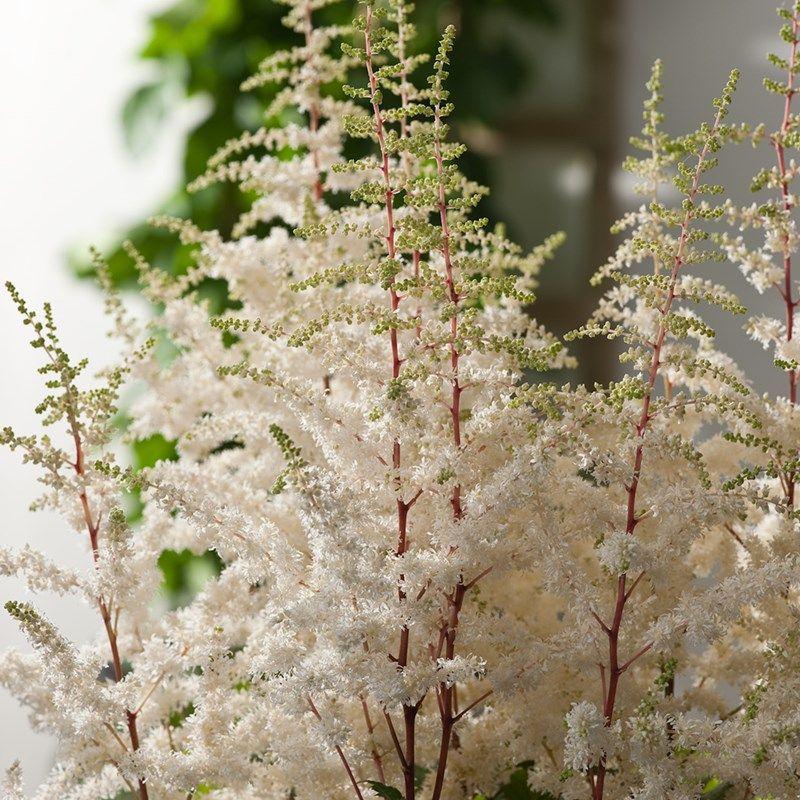 Fl Jun Aug Astilbe Cappuccino False Spiraea Dobbies Garden Centres Cottage Garden Plants Garden Plants Plants