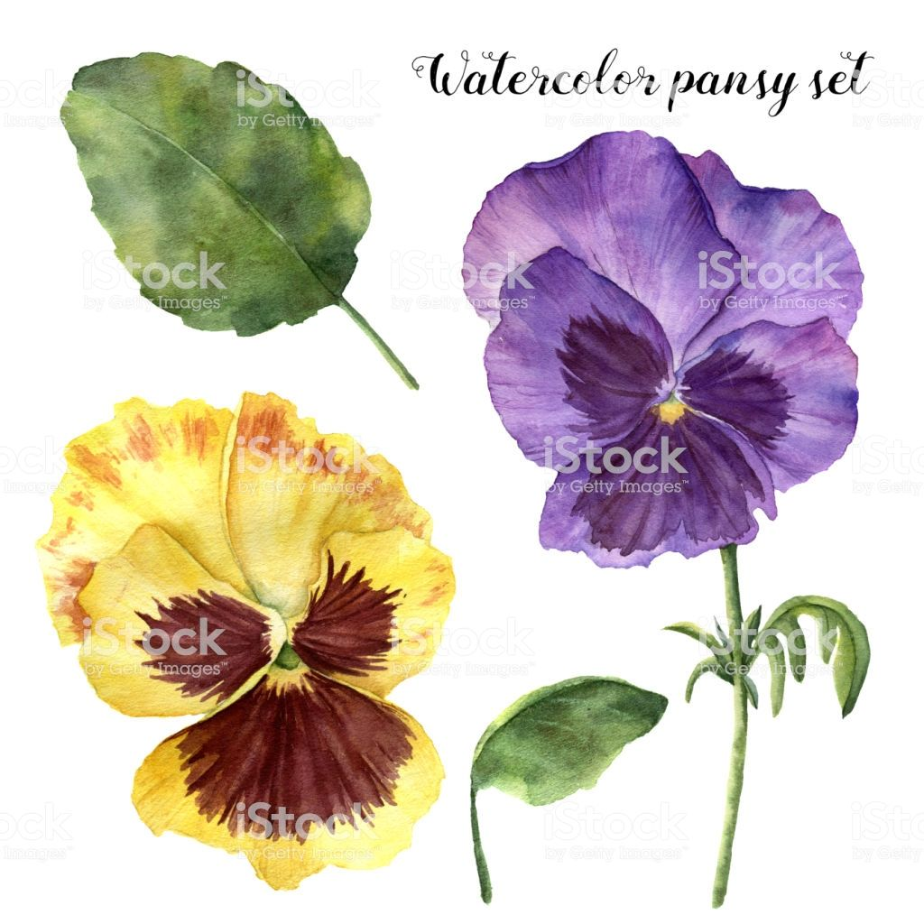 Watercolor Pansy Set Hand Painted Floral Illustration With Leaves Floral Painting Viola Flower Floral Illustrations