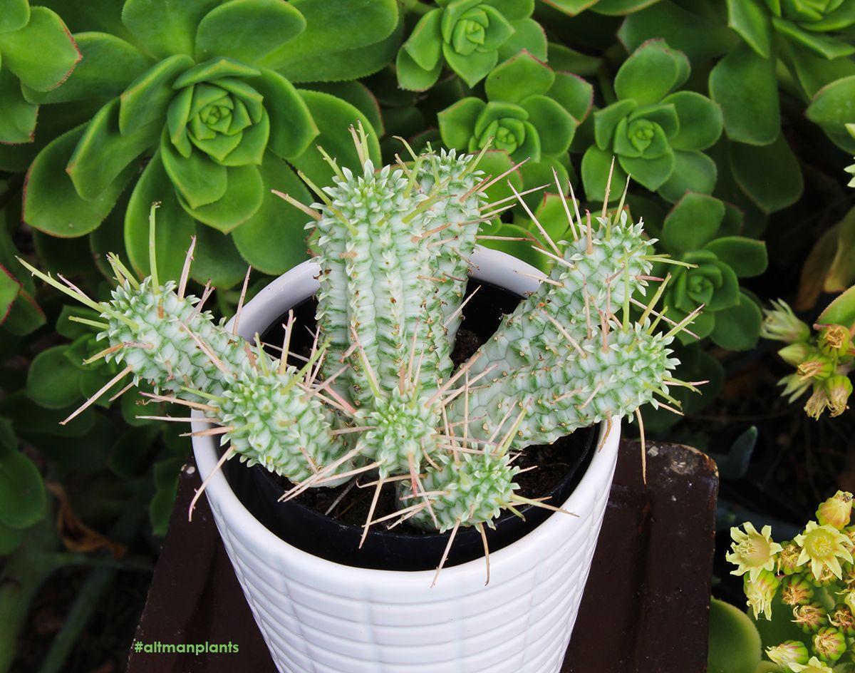Euphorbia Mammillaris Variegata Euphorbia Plant Plants