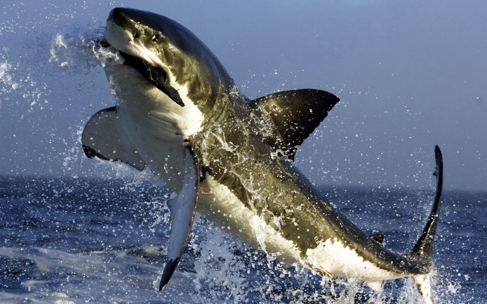 Shark jumps out of water to eat a fish   nature and life   Shark