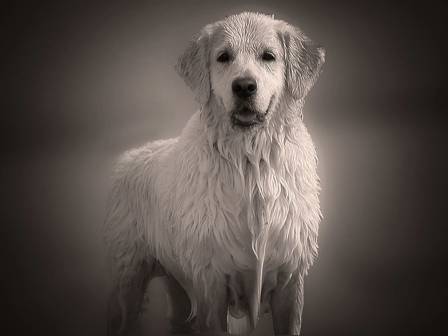 Lana By Juan Rodrigo Legua Via 500px Labrador Retriever Dog