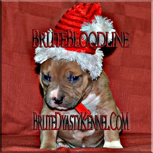 Pocket And Xl Bullies Brute Bloodline Pit Bulls In California