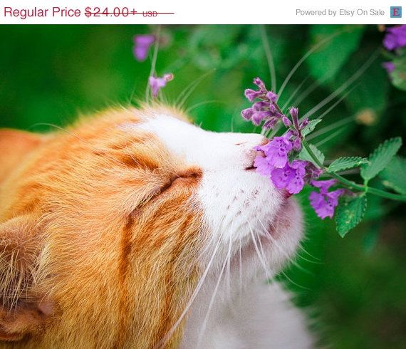 Hey, I found this really awesome Etsy listing at https://www.etsy.com/listing/119255004/20-off-sale-orange-tabby-cat-photograph