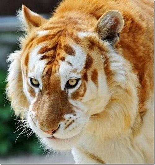 #liger