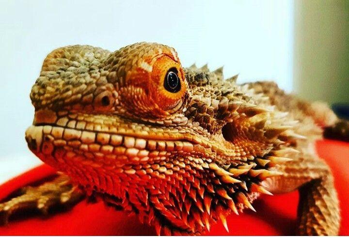 Dragao barbudo - Australia