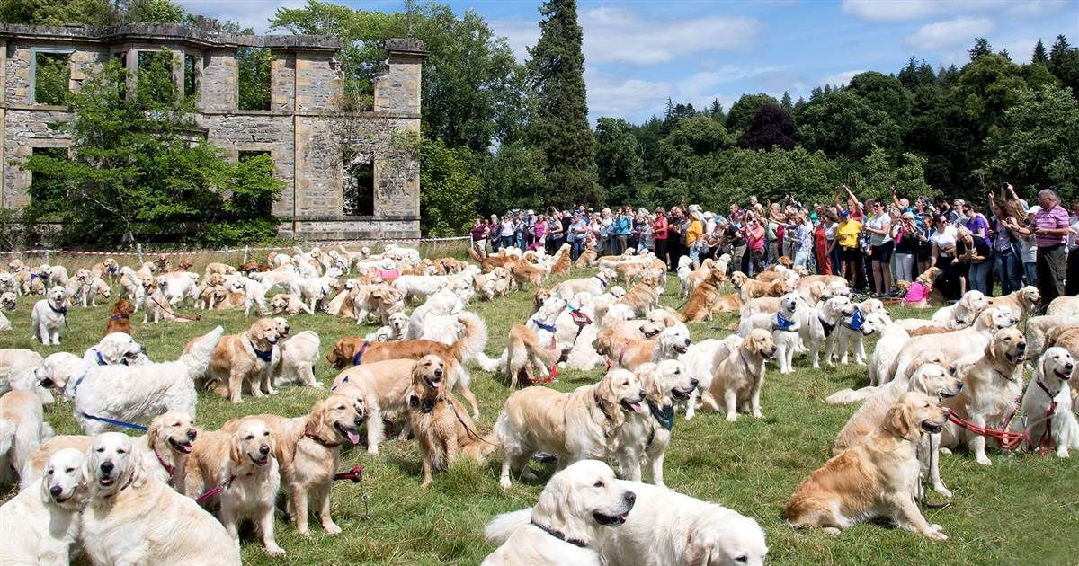 Why More Than 300 Golden Retrievers Gathered To Celebrate In