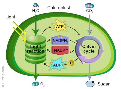 Photosynthesis Chloroplast Structure and Function leaf diagram ...