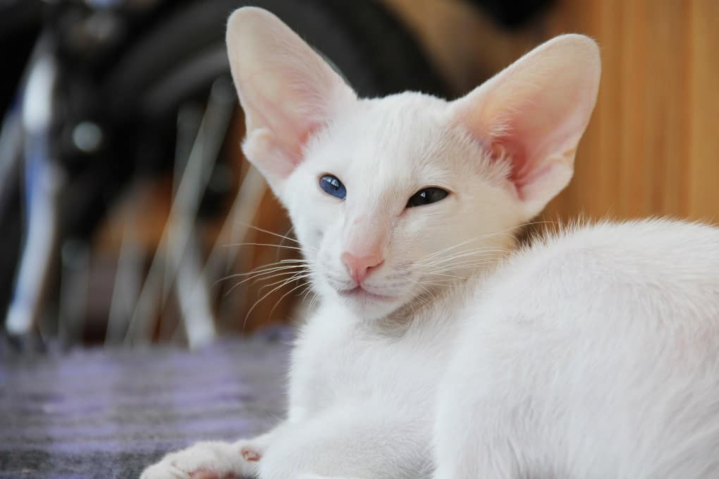 Oriental Shorthair The Ultimate Guide To Their History Types Characteristics Temperament And Care A Cat Breeds Blog Oriental Shorthair Cats Oriental Shorthair Kittens Oriental Shorthair