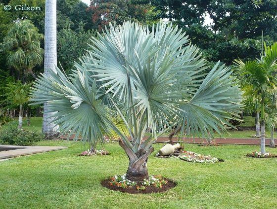 Bismarckia nobilis arecac es nom commun palmier de - Palmier d exterieur ...