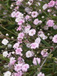 På 1930-talet introducerades även den rosablommande 'Rosenschleier'. Det gjordes av den tyske plantskoleägaren Karl Foerster och sorten kom snabbt till Sverige. 'Rosenschleier' är egentligen en hybrid mellan brudslöjan Gypsophila paniculata och den krypande revbrudslöjan Gypsophila repens och heter rosenslöja på svenska.