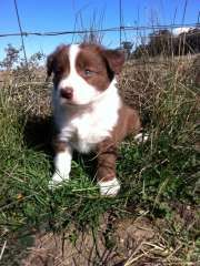 Puppies For Sale Dogs In Australia Dogs Border Collie Puppies Puppies