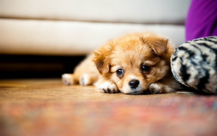 Download Wallpapers Small Dog Chihuahua Puppy Brown Dog Pets